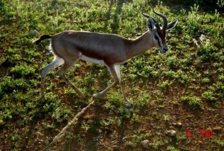 La Gazelle dorcas dans la réserve de chasse de tlemcen